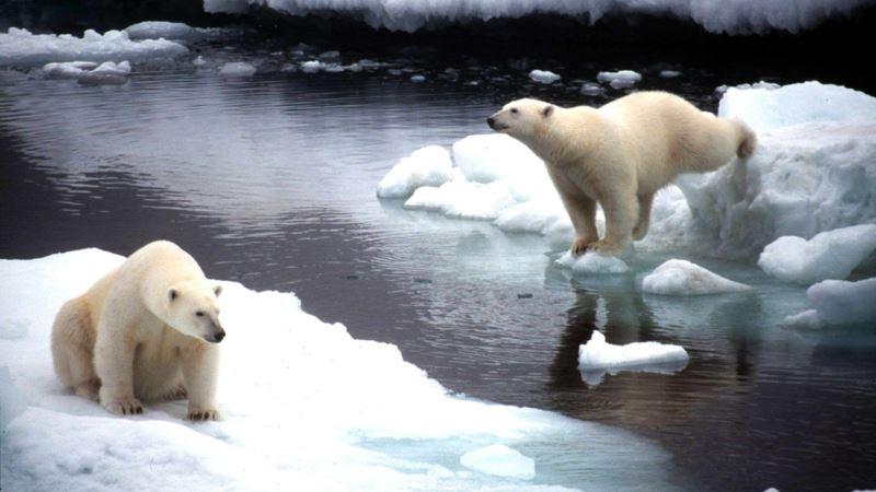 Россия: власти Новой Земли ввели режим чрезвычайной ситуации из-за нашествия белых медведей