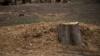 В Минэкологии Крыма сравнили крымскую сосну с сорняком