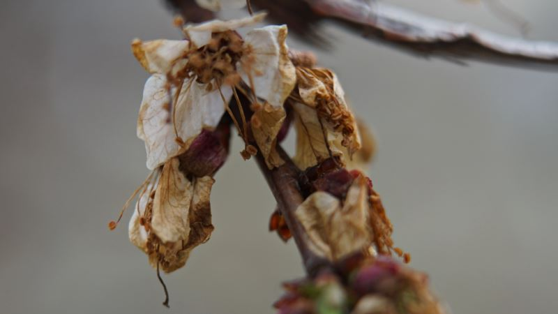 В Крыму ожидается маленький урожай персиков и абрикосов из-за тумана и заморозков