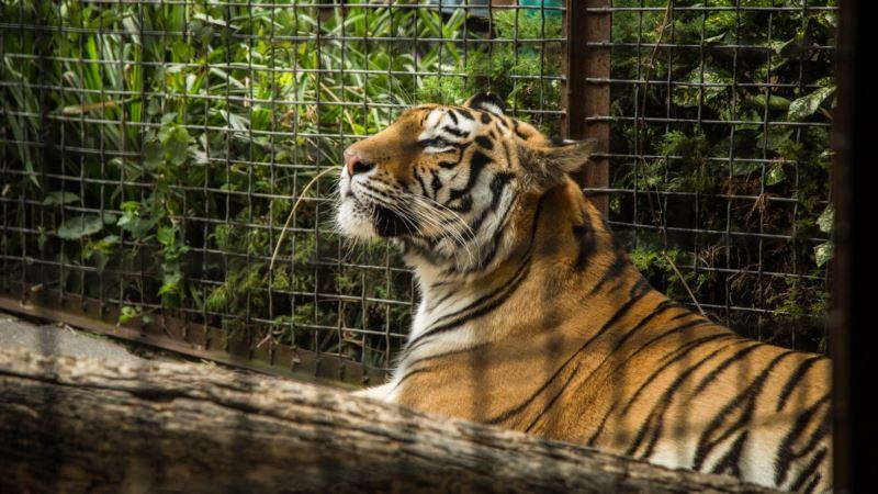 В зооуголке Симферополя умер тигр, принадлежавший Зубкову