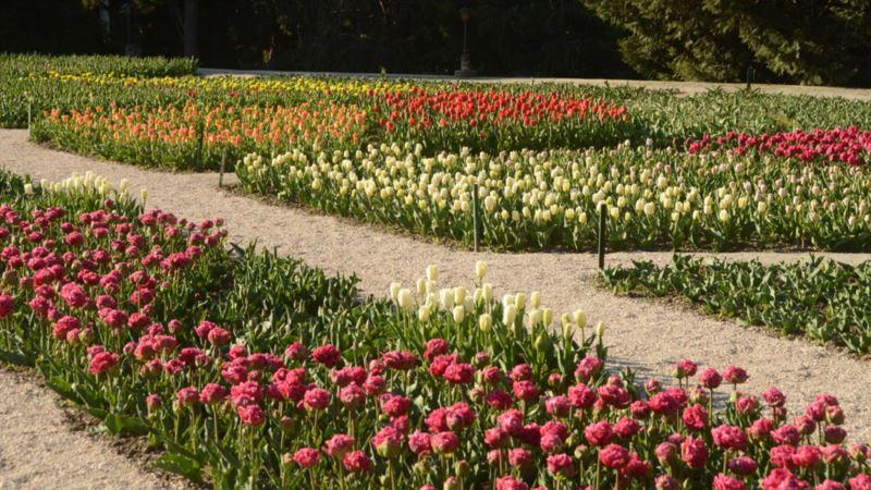 В Никитском ботсаду представили почти 100 новых сортов тюльпанов (+фото)