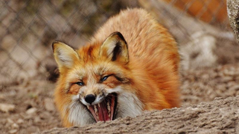 Под Симферополем и в Коктебеле ввели карантин из-за бешенства животных