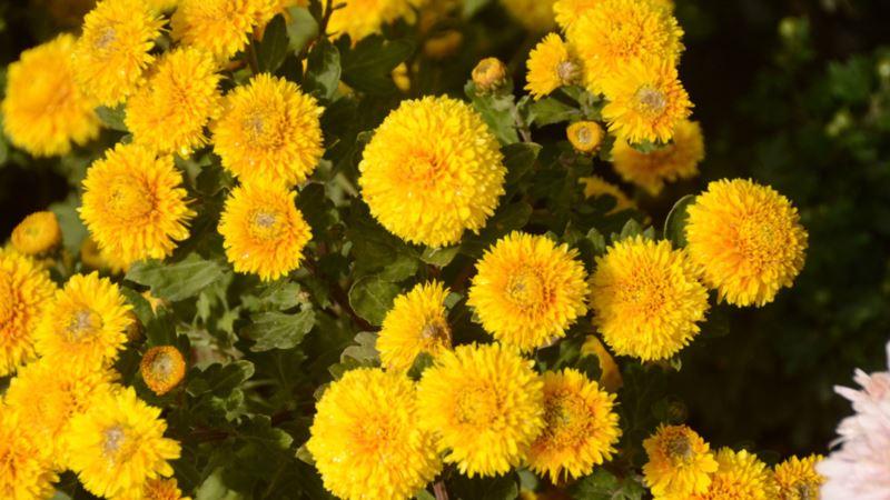 Бал хризантем в Никитском ботсаду: гостям представят более 450 разновидностей цветов (+фото)