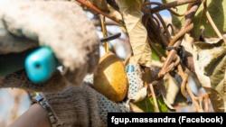 На ЮБК собирают урожай киви и хурмы (+фото)
