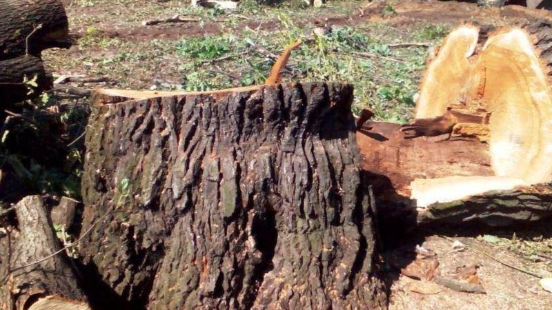 Браконьеры вырубили в симферопольском лесу более 50 деревьев