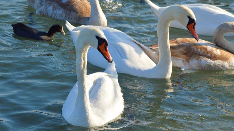 В Севастополь – на зимовку. Лебеди в бухте Омега (фотогалерея)