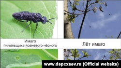 Специалисты сообщили, то деревья в Севастополе поразили насекомые-вредители (+фото)