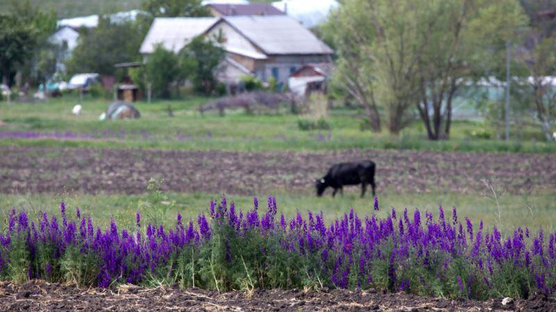 Цветение рапса и лаванды в окрестностях крымского села (фотогалерея)