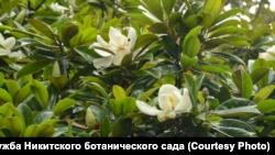 В Никитском ботсаду – пик цветения магнолий (+фото)