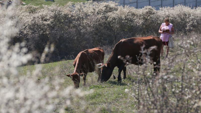В Крыму выявили вирусное заболевание у коров – Россельхознадзор