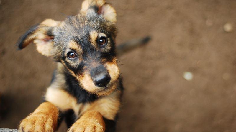 Бешенство в Крыму: оштрафованы владельцы непривитых животных