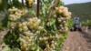 Засуха в Крыму: «Массандра» собрала меньше винограда, чем в прошлом году