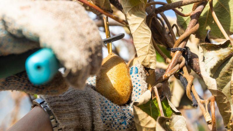 Вырощенные в Крыму киви скоро попадут на прилавки – «Массандра» (+фото)