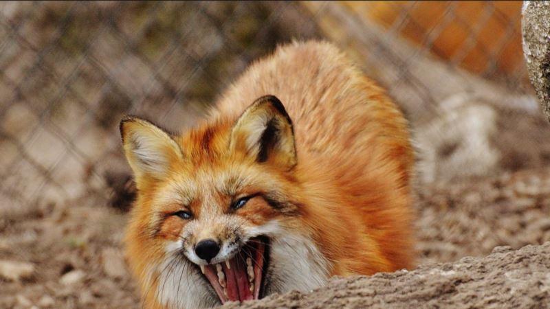 Под Красноперекопском обнаружили бешеную лису – ветеринары