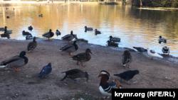 В Симферополе остановились на зимовку краснокнижные перелетные птицы (+фото)
