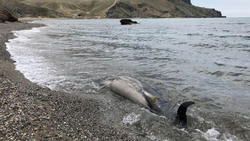 Число погибших у берегов Крыма дельфинов за год выросло на треть – волонтеры