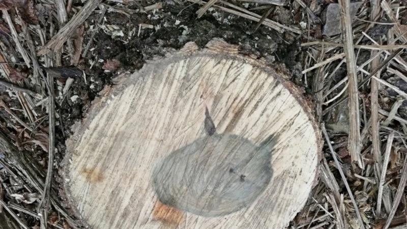 В поселке на ЮБК вырубили краснокнижные деревья – власти
