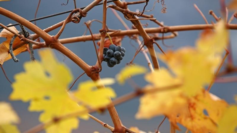 В Крыму подсчитали, сколько соберут винограда в 2021 году